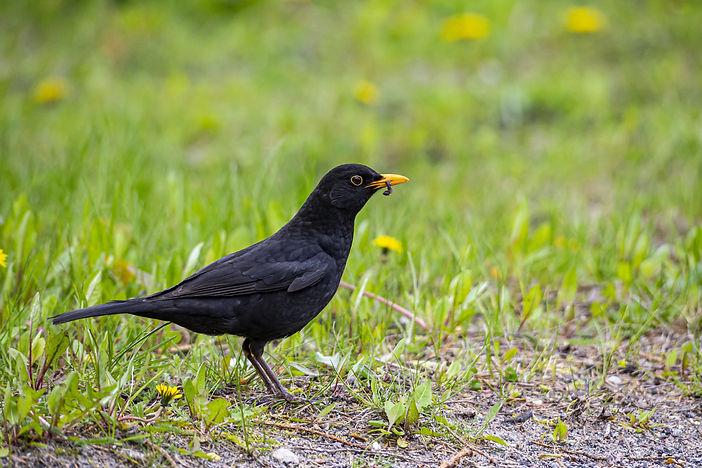 blackbird-4868883.jpg