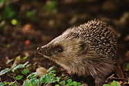 hedgehog-child-1696328_1920.jpg