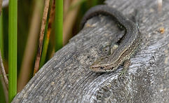 common-lizard-4798965.jpg