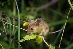 mouse-2776155.jpg