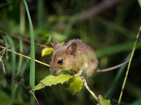 Rodent Rascals - changing our perception