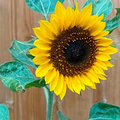 sunflower_sized.jpg