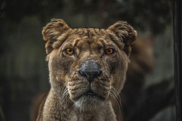 Lioness, Fierce Creatures Spells, Shadezofblack.com