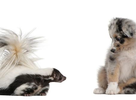 Votre chien et la moufette : mieux vaut être prêt!