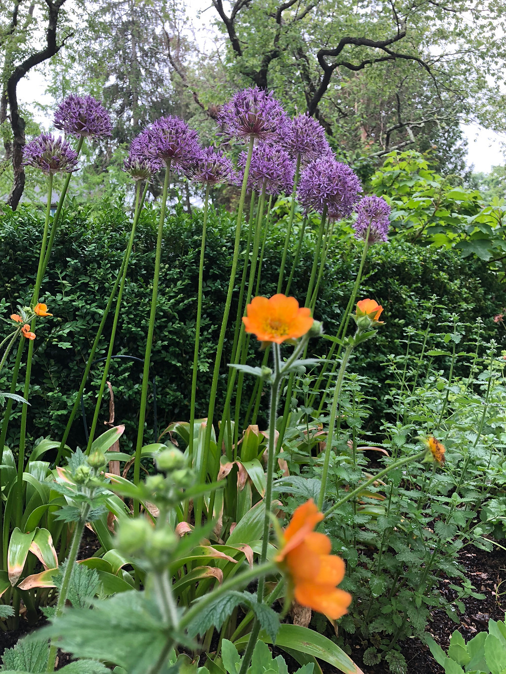 Spring allium with geum 'Totally Tangerine'