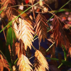 Northern sea oats warmed by the setting sun #landscapedesign #nativeplants #fall🍂🍁