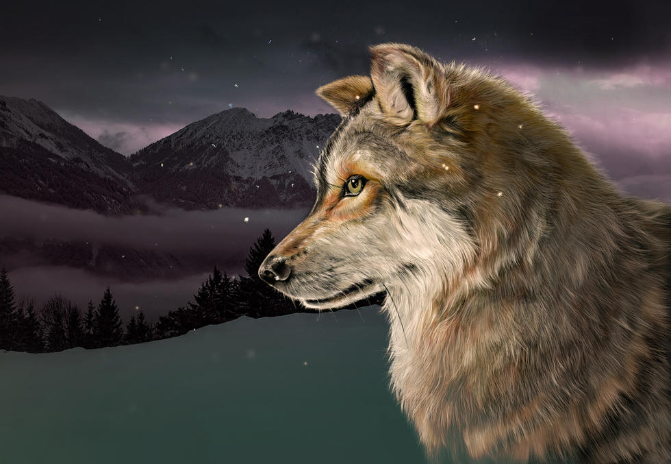 grey wolf in mountains.jpg