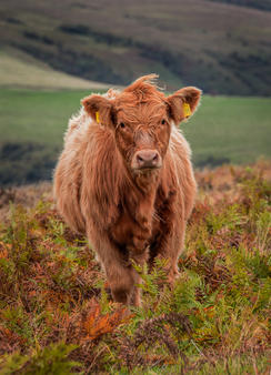 cow staring 2 (2).jpg