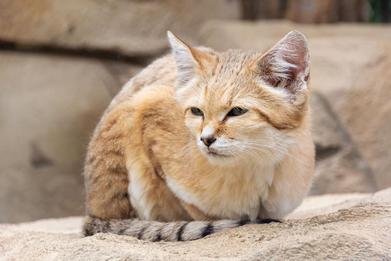 sandcat.jpg