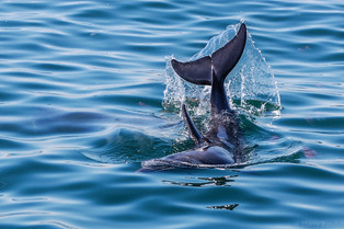 Dolphin In Walvis Bay - May 2014