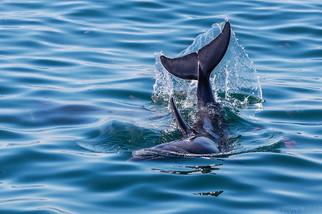 Dolphin In Walvis Bay - May 2014