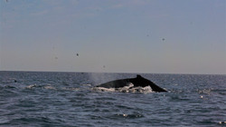 whales 31