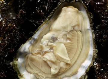 Behold! The Pouldoody Oyster