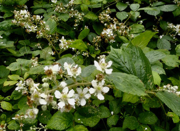 A Beekeeper's Journal: Bees and Blackberries