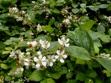 A Beekeeper's Journal: Bees and Blackberries