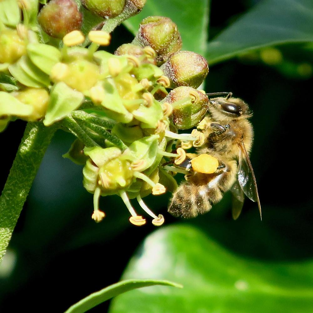 Honeybee loaded with ivy pollen