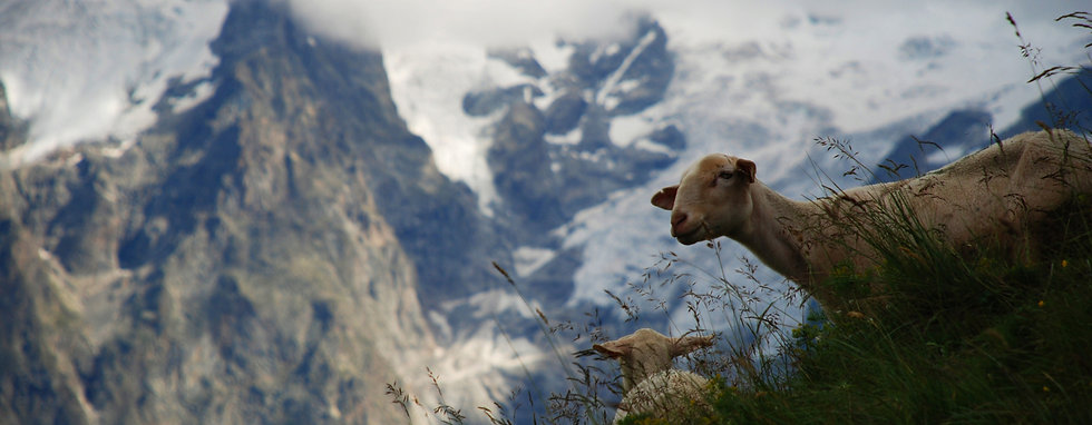 lamb-in-the-french-alps-1365643-1599x1070.jpg