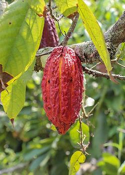 Theobroma cacao fruit.jpg