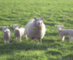 home grown lamb