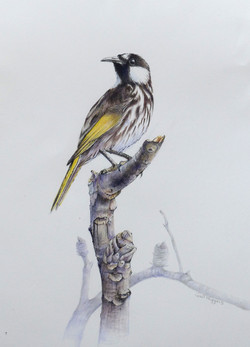 """""""On a Banksia Perch"""""""