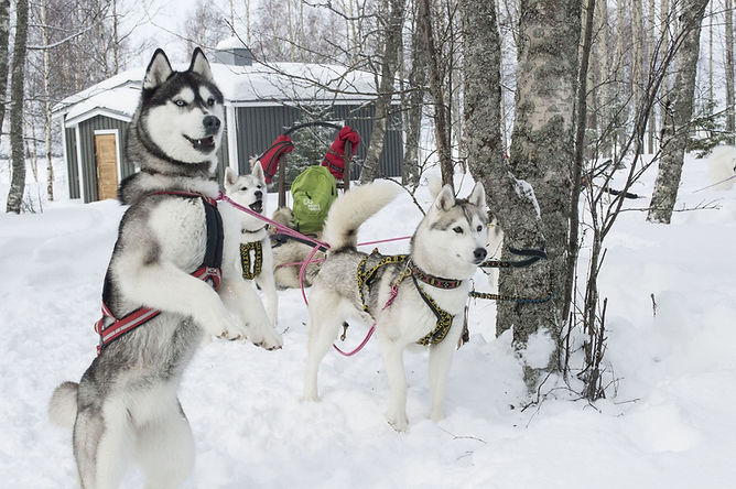 Kemi Tourism Ltd. Huskies ready to run (