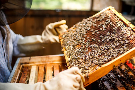 Beekeeper Holding a Honeycomb