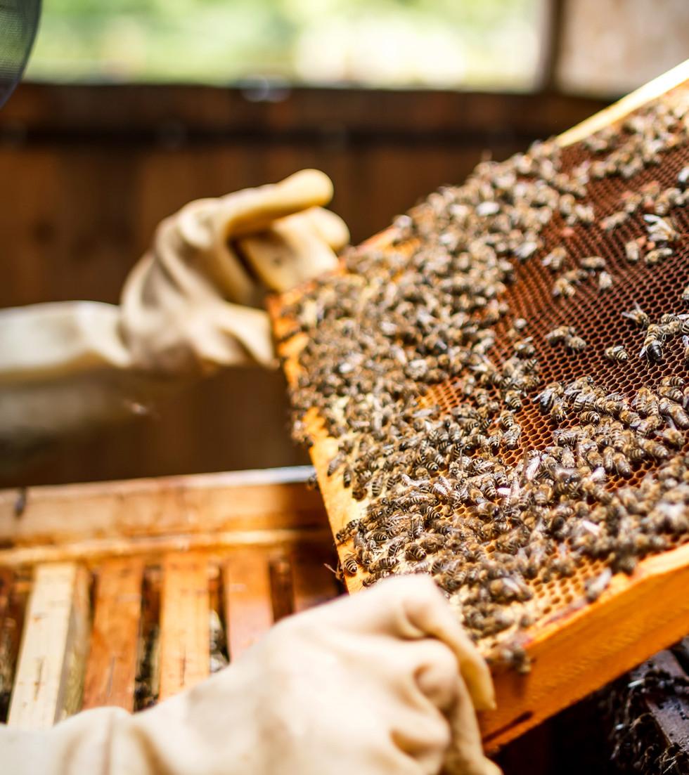 Apiculteur tenant un nid d'abeilles