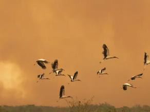 Record-breaking wildfires in Brazil threaten endangered species – video