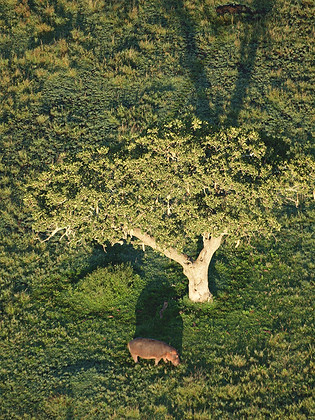 Hippopotame vu d'en haut! Tanzanie, Afrique © niesim