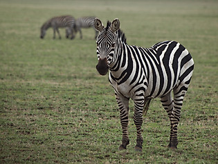 Zèbre de Tanzanie, Afrique © niesim