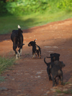 Petits chiots en Afrique © niesim