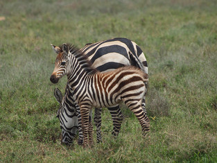 Zèbre, Tanzanie, Ngorongo, Afrique © niesim