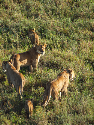 Lions vue dans haut, Serengeti © niesim