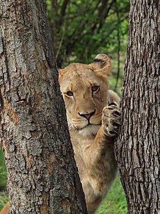 Attrape moi si tu peux... un lion en Zambie, Afrique © niesim