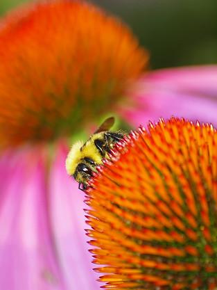 Bourdon sur Echinacea © niesim