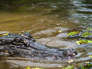 Alligator New Orleans, Louisiana © niesim