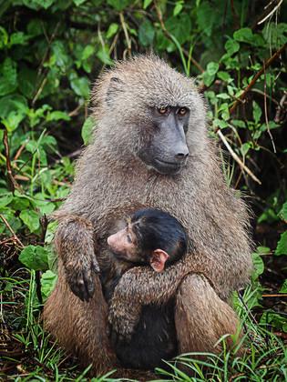 Bébé singe, dans les bras de sa maman, Afrique © niesim