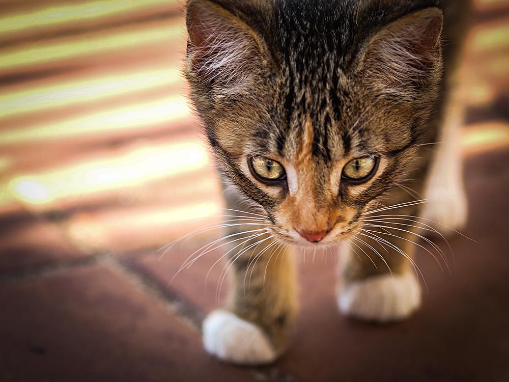 Chaton tigré, Trinidad, Cuba ©niesim