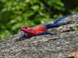 Lézard, Tanzanie, Rouge, Iguane, ©