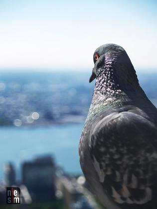 Pigeons sur le toit! Empire State Building