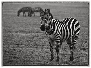 Zèbre de Tanzanie, Afrique en noir & blanc © niesim