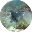 eagle ray2.png