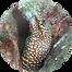 jewel moray.png
