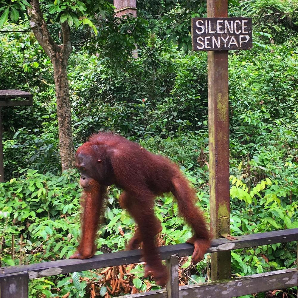 Sepilok orang utan rehabilitation centre Borneo palm oil deforestation indonesia malaysia truth of palm oil rainforest depletion