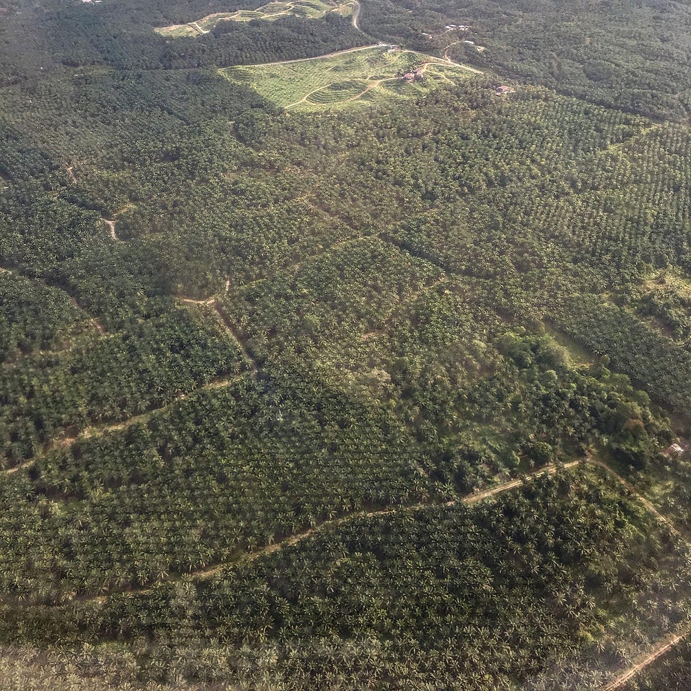 Borneo palm oil deforestation indonesia malaysia truth of palm oil rainforest depletion
