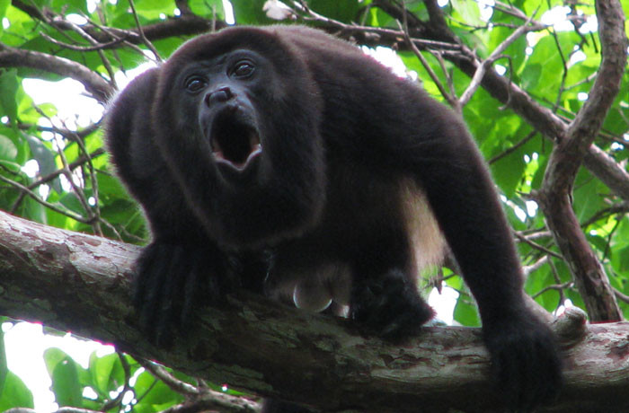 waking up to the sound of howler monkeys