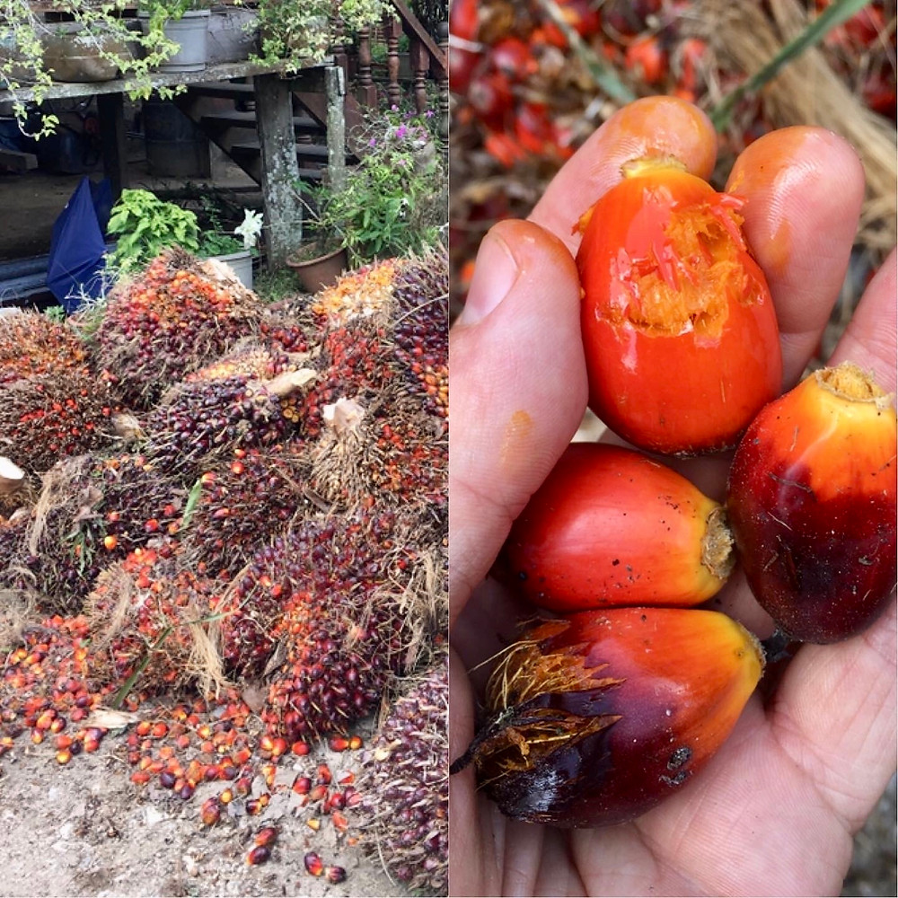 What does palm oil fruits look like Borneo palm oil deforestation indonesia malaysia truth of palm oil rainforest depletion