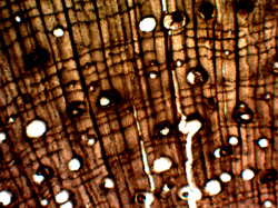 Hickory Cross Section