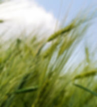 grain-144466_1920.jpg