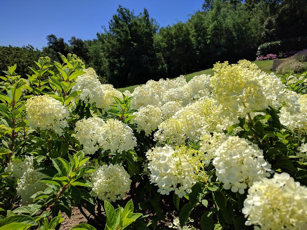 Hydrangea paniculata 'Bobo' en fleurs